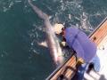 Unhooking-a-thresher-shark